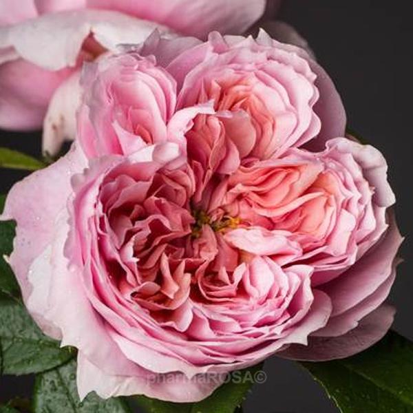 rosa nostalgische rosen stark duftend rosa sch ne maid rosen online bestellen. Black Bedroom Furniture Sets. Home Design Ideas