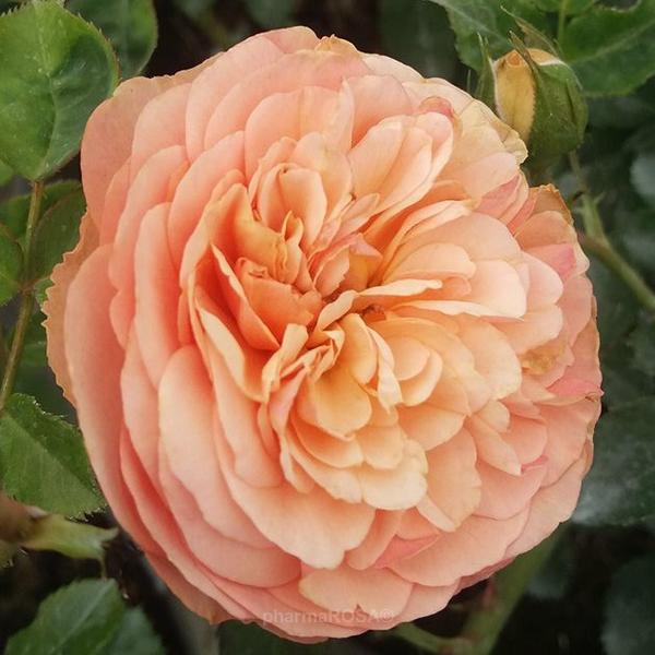 orange nostalgische rosen diskret duftend rosa natalija rosen online kaufen unsere. Black Bedroom Furniture Sets. Home Design Ideas