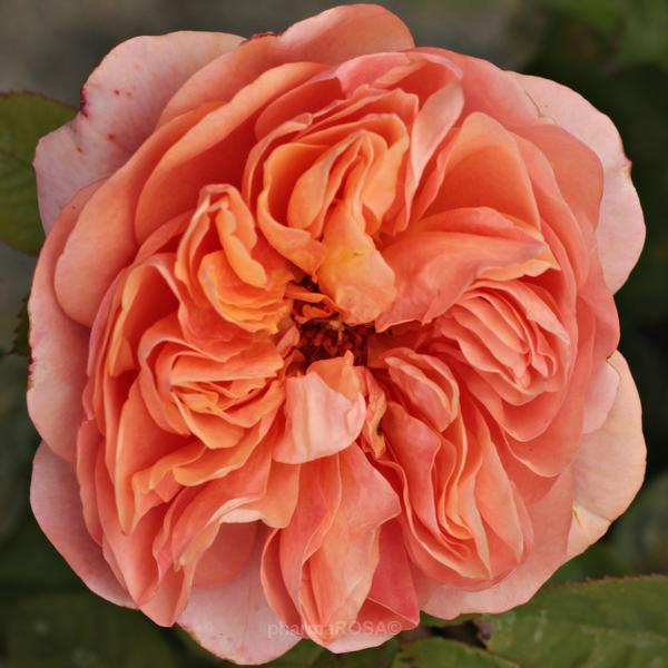 Rose Englisch