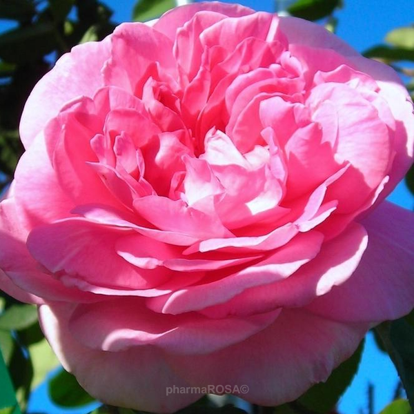Rosa Englische Rosen Stark Duftend Rosa Ausbord Rosen Online