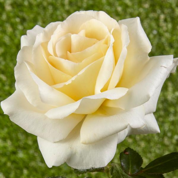 gelb floribundarosen stark duftend rosa moonsprite rosen online bestellen unsere. Black Bedroom Furniture Sets. Home Design Ideas