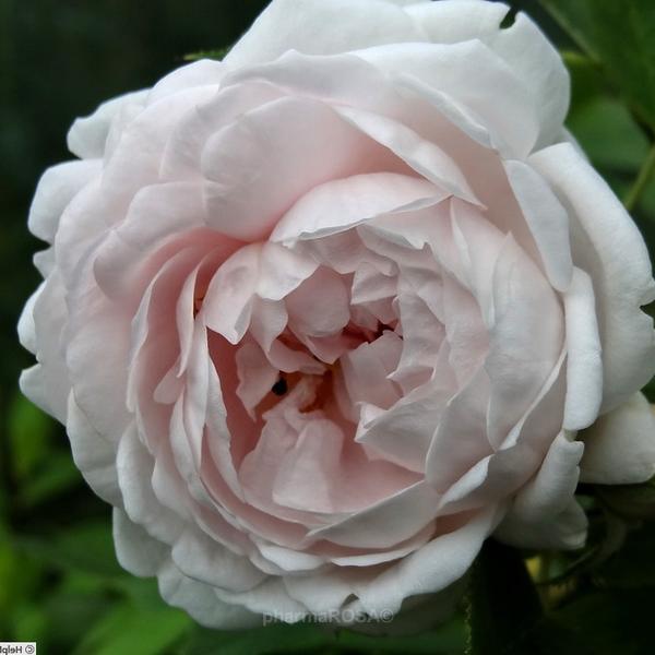 Weiß Alba Rosen Diskret Duftend Rosa ännchen Von Tharau