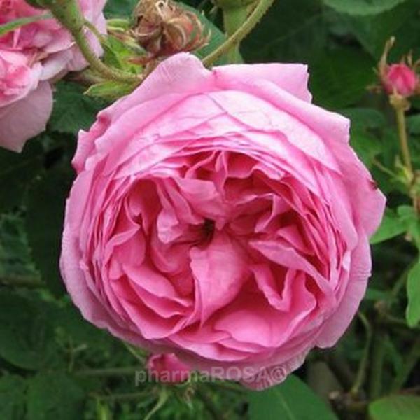 rosa zentifolien stark duftend rosa typ kassel rosen online bestellen unsere. Black Bedroom Furniture Sets. Home Design Ideas