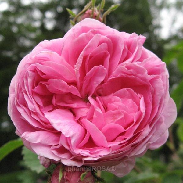 rosa zentifolien stark duftend rosa rose des peintres rosen online bestellen unsere. Black Bedroom Furniture Sets. Home Design Ideas