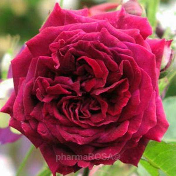 Lila Hybrid Perpetual Rosen Stark Duftend Rosa Empereur Du