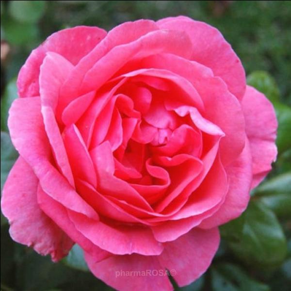 rosa chinarosen stark duftend rosa frau dr schricker rosen online bestellen unsere. Black Bedroom Furniture Sets. Home Design Ideas