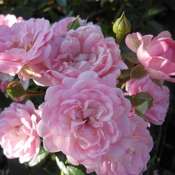 Rosa Bodendecker Rosen Duftlos Rosa The Fairy Rosen Online